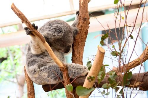 桉树叶含有毒物质,考拉的睡眠时间很长以消化有毒
