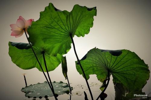 意境水墨画莲花-国画学习构图的意境  这幅作品突出荷叶茎干的线条,简单明了,不禁让