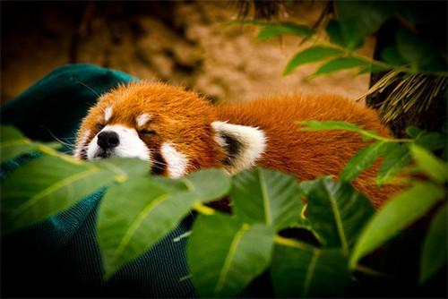 萌翻全场的可爱的小熊猫精彩摄影作品