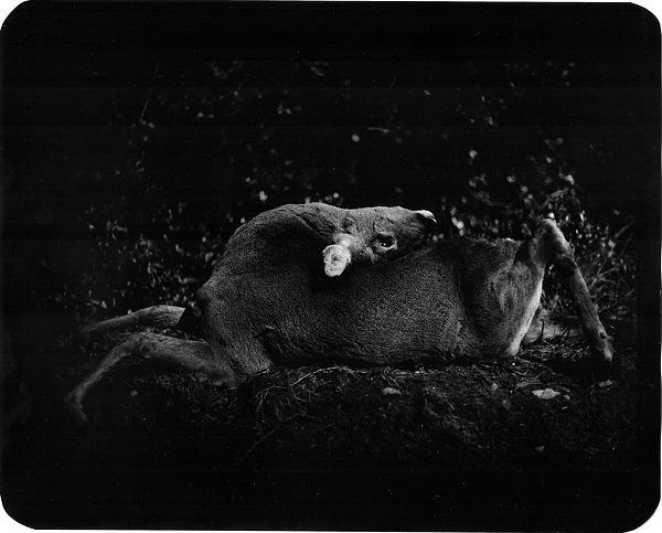 黑白动物肖像 giacomo brunelli作品赏析