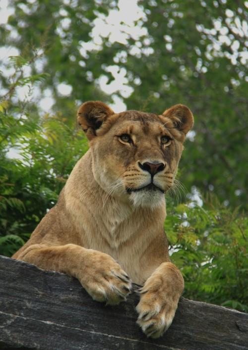 现代狮子有13个亚种,南非狮是世界上最大的猫科动物