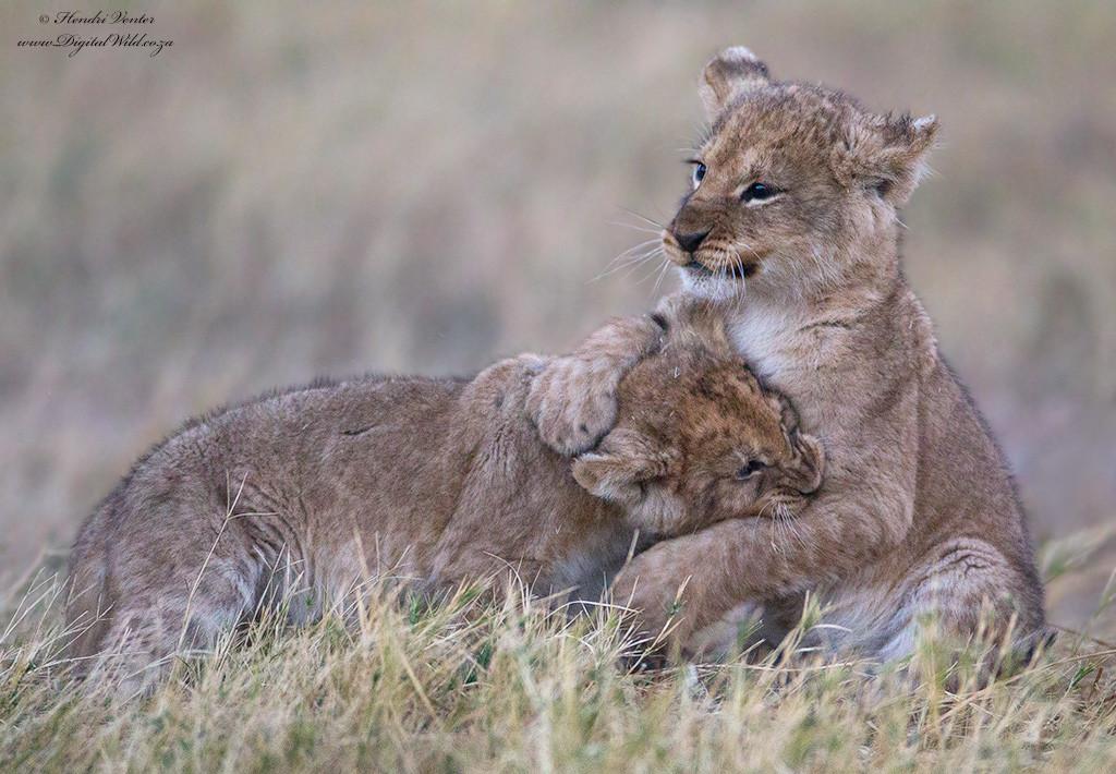 可爱的百兽之王 摄影师拍摄小狮子萌照