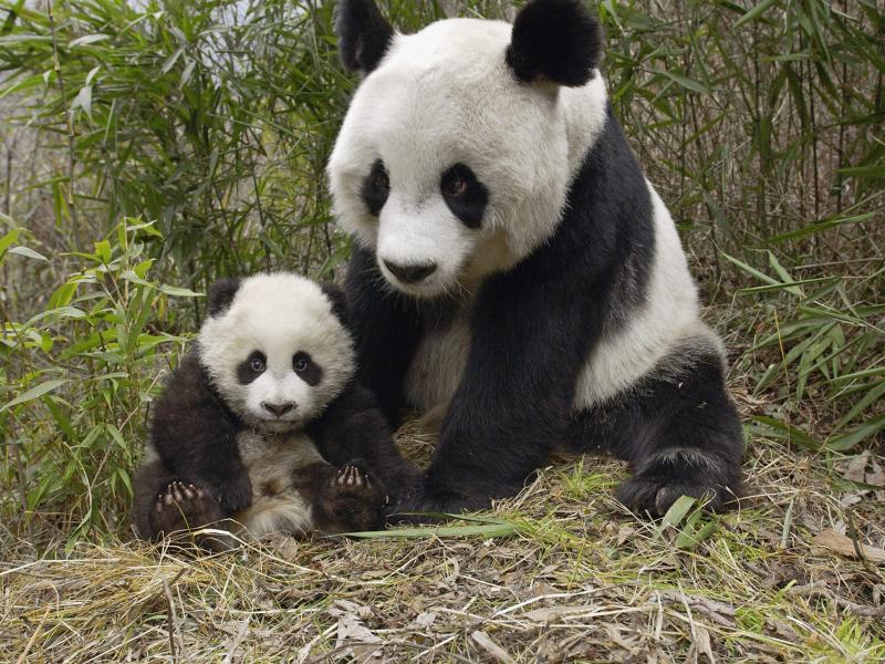 【高清图】 功夫熊猫踢暴全球 超可爱国宝主题壁纸图9