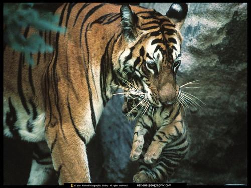 虎年看虎 老虎美图大集