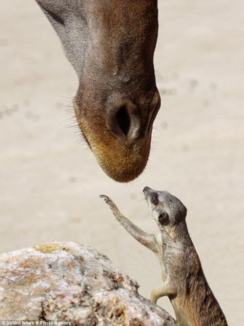 摄影师拍到猫鼬主动向长颈鹿索吻瞬间