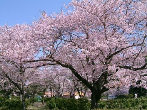 阳春三月 携现代H25音箱共赏花花世界